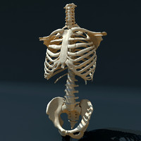 3ds max hu torso skeleton