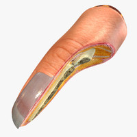 3d nail finger anatomy