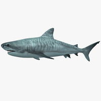 3d model of tiger shark