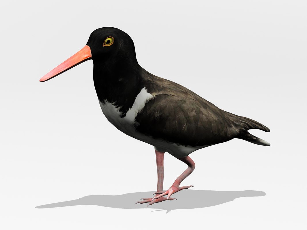 Am.Oystercatcher2.jpg