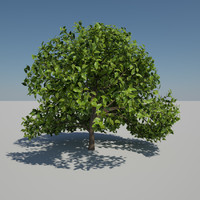Tree Ficus