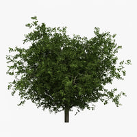hornbeam tree 3d model