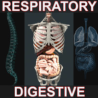 respiratory digestive 3d model