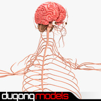 dugm01 human nervous 3d 3ds