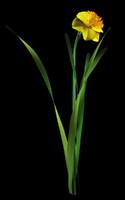 max narcissus daffodil jonquil