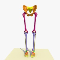colour legs feet human skeleton 3d model