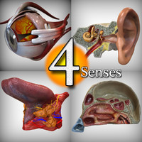 anatomy human senses head 3d max