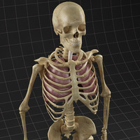 lungs skeleton 3d model
