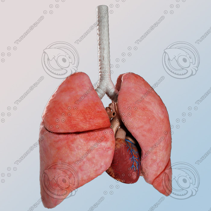 human lungs heart 3d obj