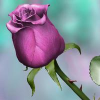 maya pink rose
