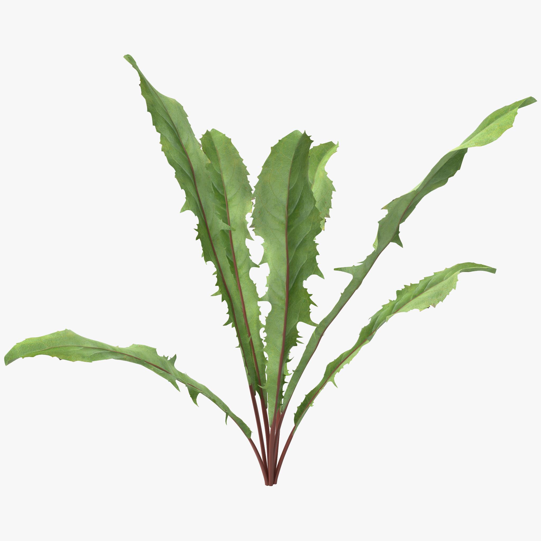 Dandelion Green Plant_1.jpg