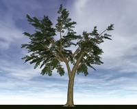 Dark Ash Tree