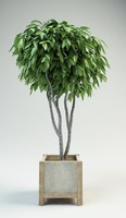 fig tree ficus 2