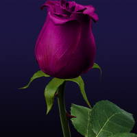 purple rose 3d obj