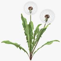 dandelion seed head plant max