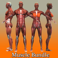 c4d human male female muscular