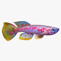 max killifish fish