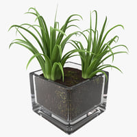 Shrub Dracaena in Square Glass Vase
