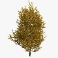 maya yellow poplar tree