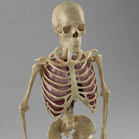 lungs diaphragm skeleton 3d max