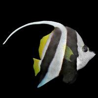 Realistic Pennant coralfish