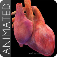 Heart Anatomy Animated