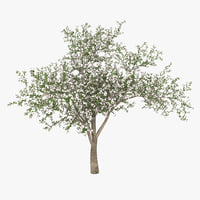 flowering apple tree 3d model