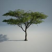 maya acacia