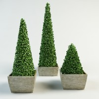 boxwood cone bush