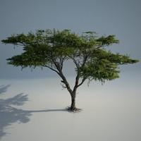 max acacia tree