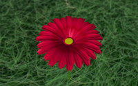 gerber daisy 3d c4d