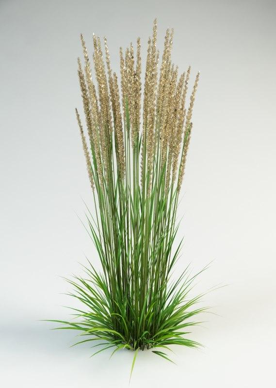 calamagrostis_acutifolia_10000.jpg