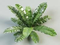 maya asplenium fern