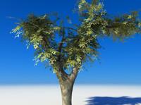 maya tree cherry