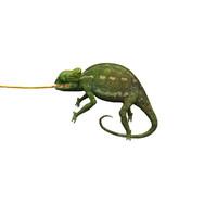chameleon lizard 3d max