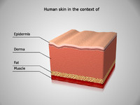 human skin context anatomy 3d model