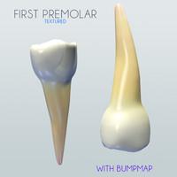 3d model premolar human