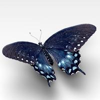 maya spicebush swallowtail