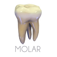 teeth upper molar 3d c4d