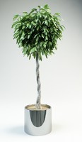 fig ficus tree 3d model