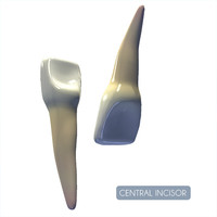 central incisor 3d 3ds
