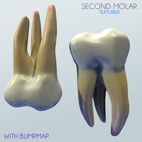 3d model second molar