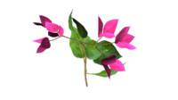 bouganinvilea flower 3d model