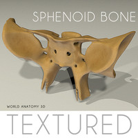 3d model anatomy sphenoid bone