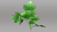 coriandrum sativum coriander obj