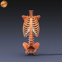 3d model anatomy