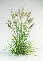 fescue grass 3d model
