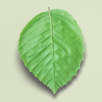 hornbeam tree landscape leaf 3d 3ds