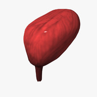 3d model human urinary bladder