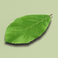 common beech fagus sylvatica 3d model